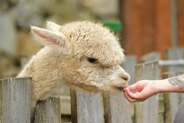 Alpaca Socks for winter